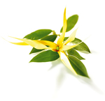 JOZELLE YLANG YLANG OIL   15ML